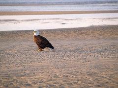Bald Eagle fishing on the beach in Hilton Head Island.