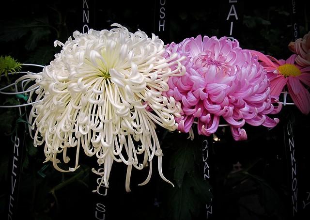 Chrysanthemums IMG_0633
