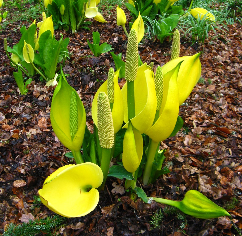 Lysichiton americanus (Yellow Skunk Cabbage)