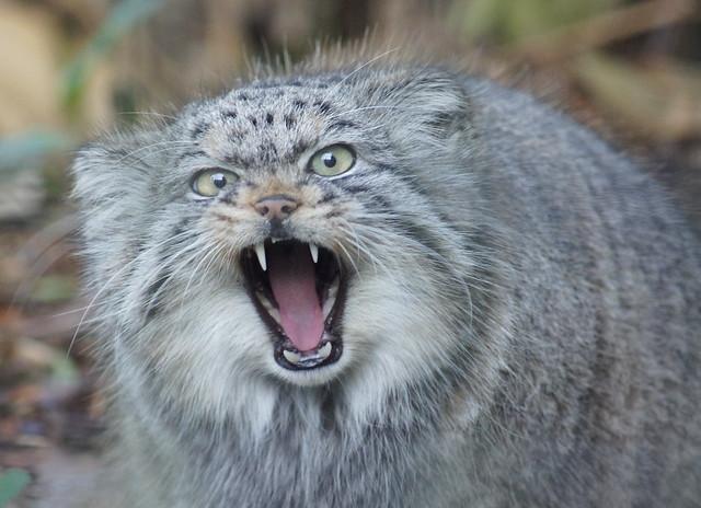 Pallas Cat.