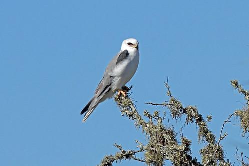 birds texas whitetailedkite knuthansen