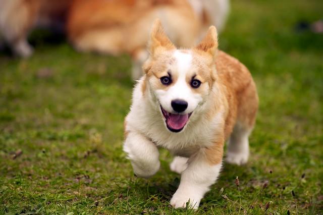 Corgi Puppies 70   Flickr - Photo Sharing!