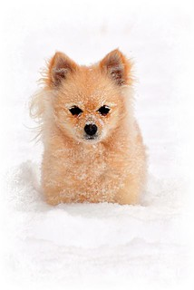 Pomeranian playing in the snow