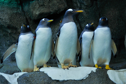 Gentoo penguins by picniki