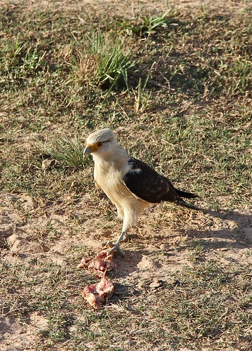 Yellow-headed Caracara (Milvago chimachima cordatus)