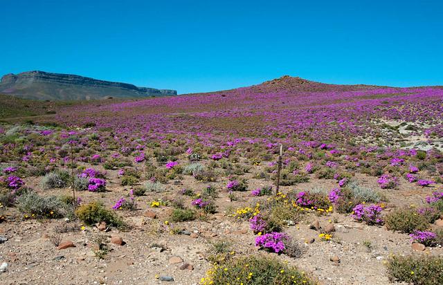 Tanqua Karoo in bloom