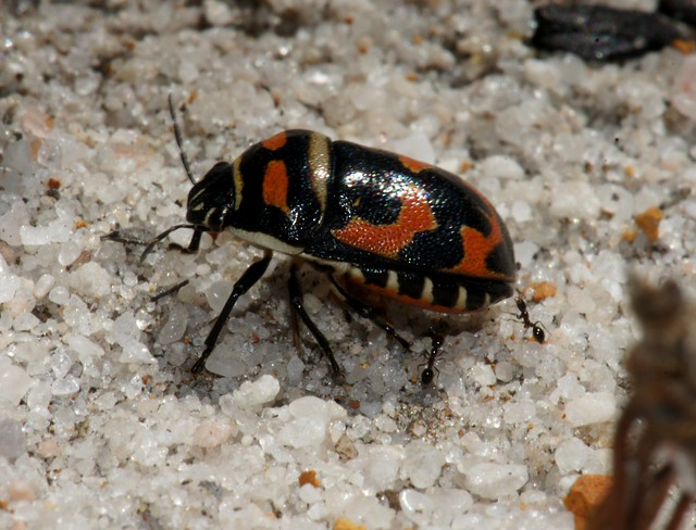 black and orange bug flickr photo sharing. Black Bedroom Furniture Sets. Home Design Ideas