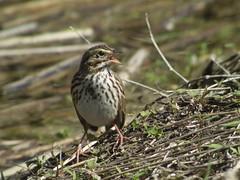 Savannah Sparrow, Viera Wetlands, FL