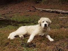 dog breed, animal, polish tatra sheepdog, dog, maremma sheepdog, slovak cuvac, goldendoodle, carnivoran, great pyrenees,