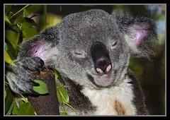Koala in Cairns Zoo-02=