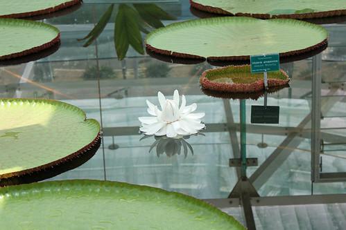 Victoria Amazonica Lily