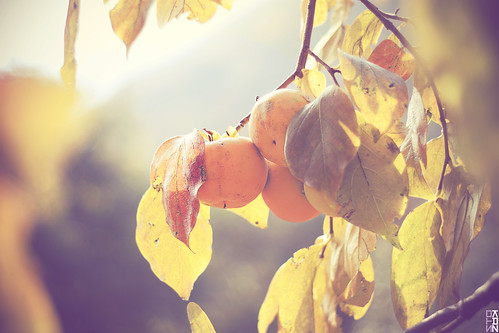 Vintage light on persimmons