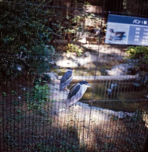夜鷺 - ゴイサギ(井の頭自然文化園 いのかしらしぜんぶんかえん)