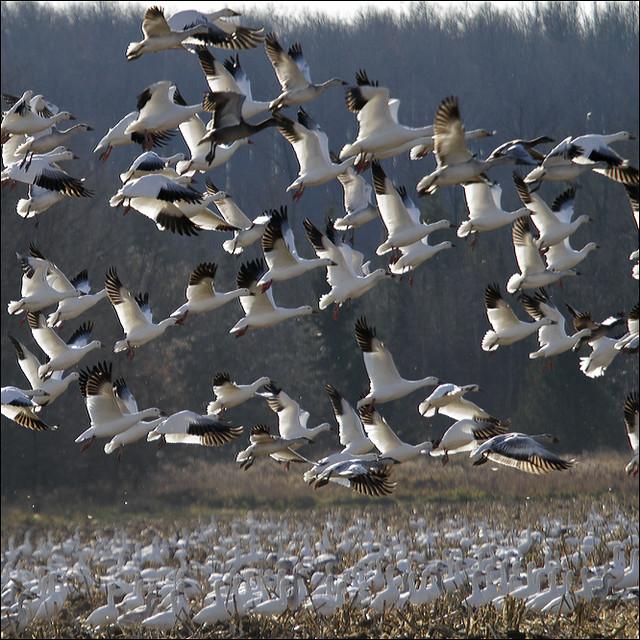 Snow white Geese