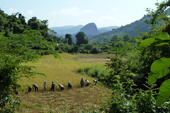 Wanderung zum Dorf Ban Na Kang - Reisernte
