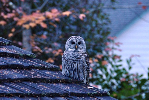 325 - Barred Owl at Twilight by carolfoasia