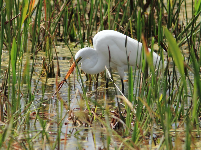 Great Egret with fish and salad 20120318