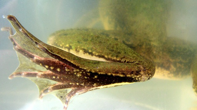 Green Frog, hind leg and webbed foot
