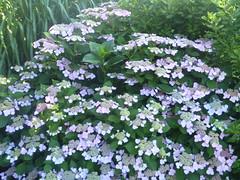 yarrow(0.0), iberis sempervirens(0.0), candytuft(0.0), hesperis matronalis(0.0), annual plant(1.0), flower(1.0), hydrangea serrata(1.0), lilac(1.0), herb(1.0),