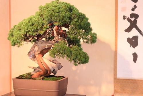 "真柏 明星 Shimpaku ""Myojyo"" (Japanese Juniper) - 盆栽美術館 - bonsai museum"