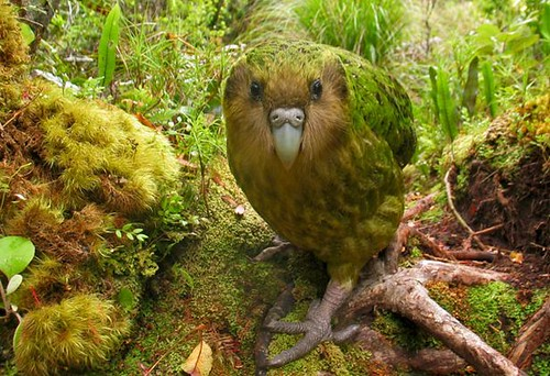kakapo_541643s by jidanchaomian