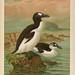 Naumann, Naturgeschichte der Vögel Mitteleuropas. v.12.