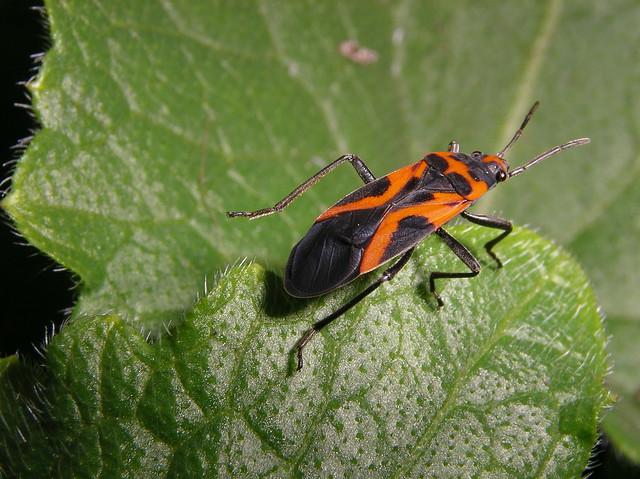 orange and black bug on a leaf macro imgp1209 flickr photo sharing. Black Bedroom Furniture Sets. Home Design Ideas