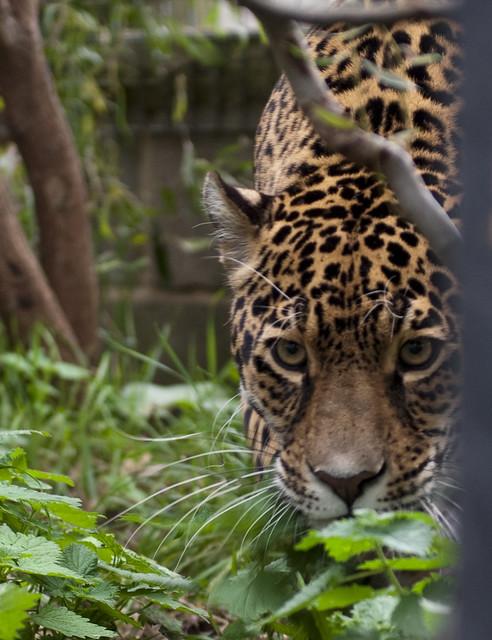 Big Cats (60) | Flickr - Photo Sharing!