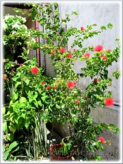 Potted Calliandra emarginata bush with fabulous red flowers, in our garden