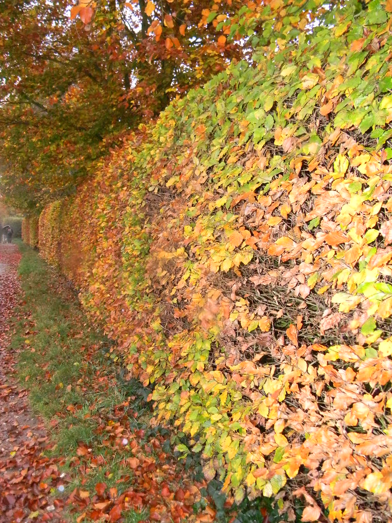 Beech hedge Princes Risborough to Great Missenden