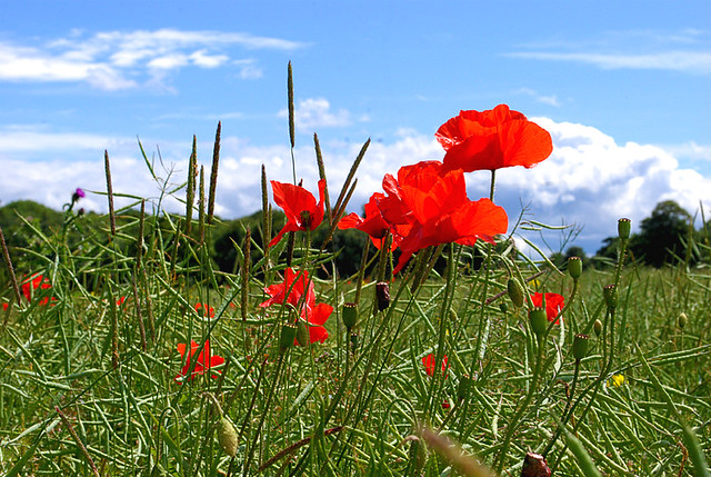 <b>Remembrance Poppy</b> of Armistice Day 11 November. | Flickr - Photo ...