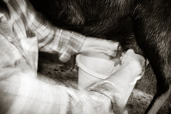 Me Milking Goat Mono - Photo of Genouillac