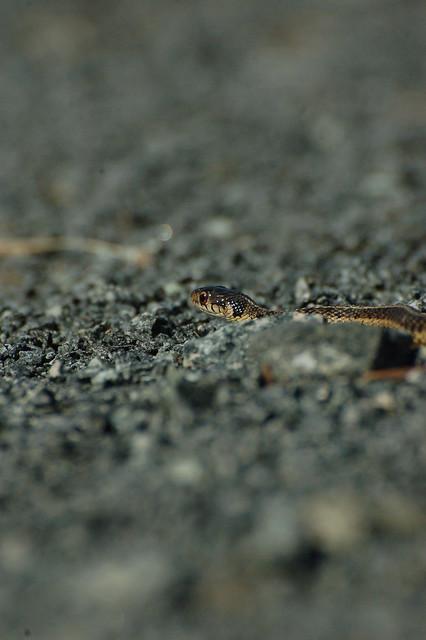 Garter snake | Flickr - Photo Sharing!