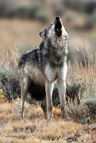 Howling Wolf by Ross Forsyth - tigerfastimagery