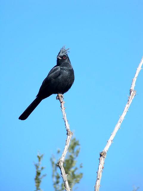 Phainopepla, Tucson AZ, Nov 2011