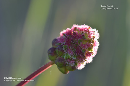 Small Burnet, Salad burnet, Garden burnet - Sanguisorba minor