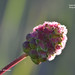 Small Burnet, Salad burnet  - Sanguisorba minor