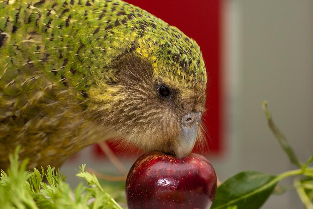 Какапо или совиный попугай- - 49