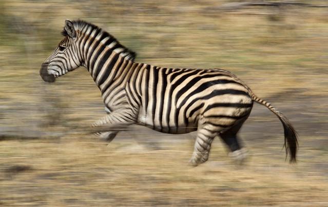 zebra running - photo #21