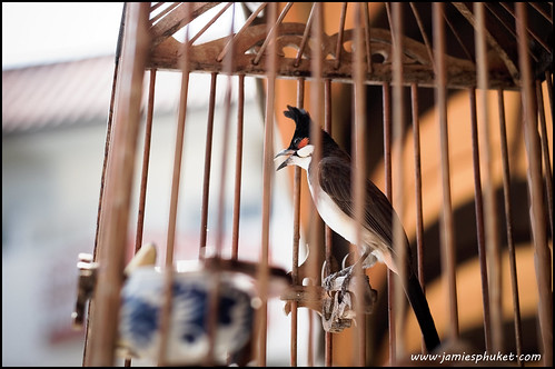 Songbird in a cage, Phuket, Thailand