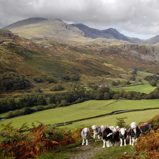 Herdwick Sheep in Eskdale