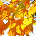Yelloworange maple