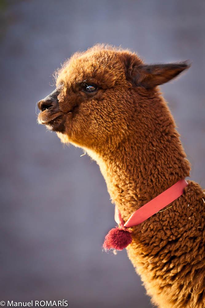 Arequipa, Peru, alpaca