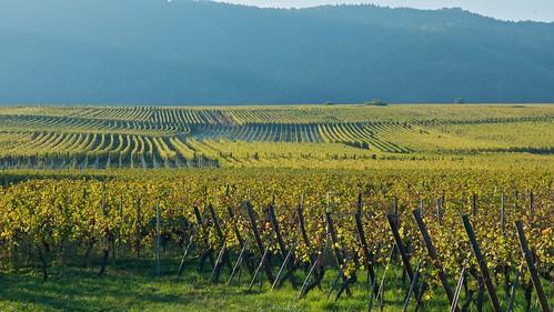 sunset france fall nature vineyard alsace leicamacroelmar90mmf40