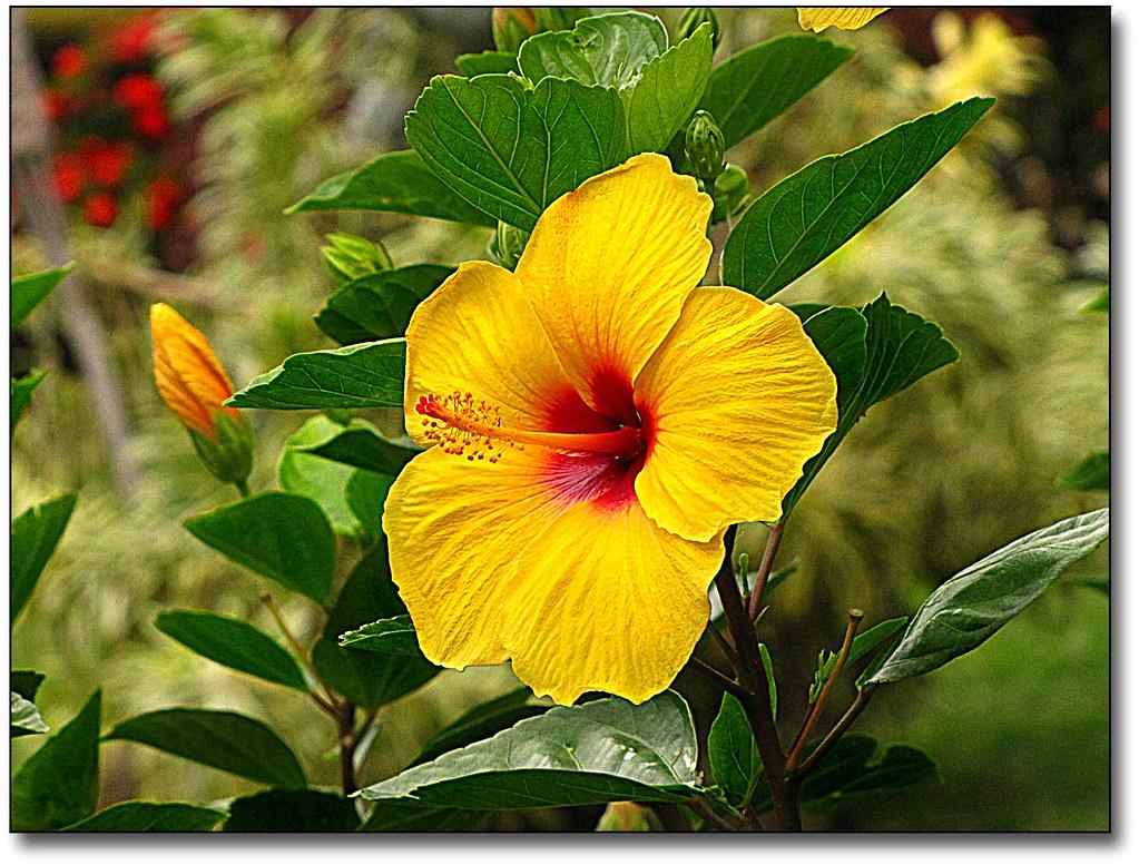 HAWAIIAN FLOWERS NAMES - FLOWERS NAMES | HAWAIIAN FLOWERS ...