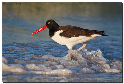 American Oystercatcher Sloshing Around in the Surf