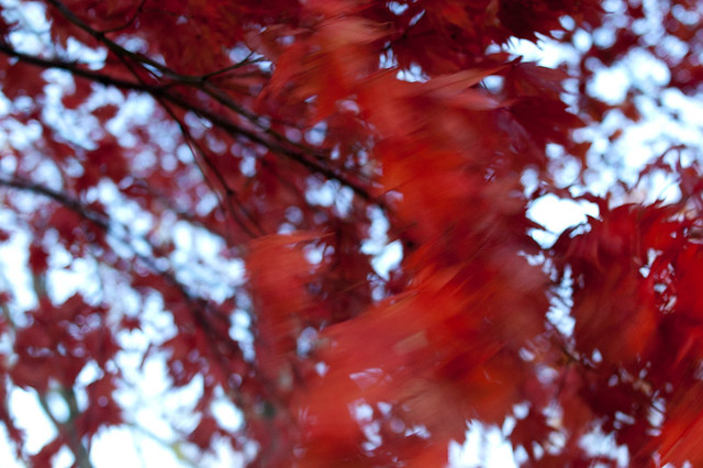 Red maple leaves blowing flickr photo sharing for Lisa yanowitz