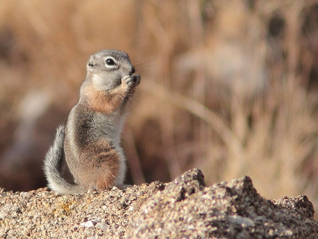 White-tailed Antelope Squirrel 20111114