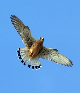 Male Kestrel Hunting