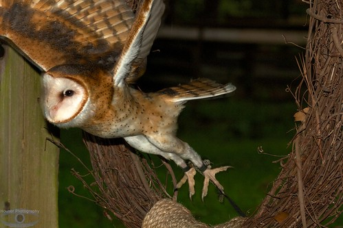 We gotta get outta here, Barn Owl Flight from Tether 1231
